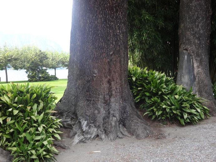 Alte Bäume im Park der Villa Melzi am Comer See