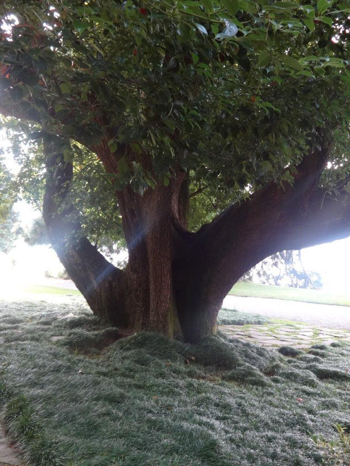 Baum mit drei Stämmen Villa Melzi Park