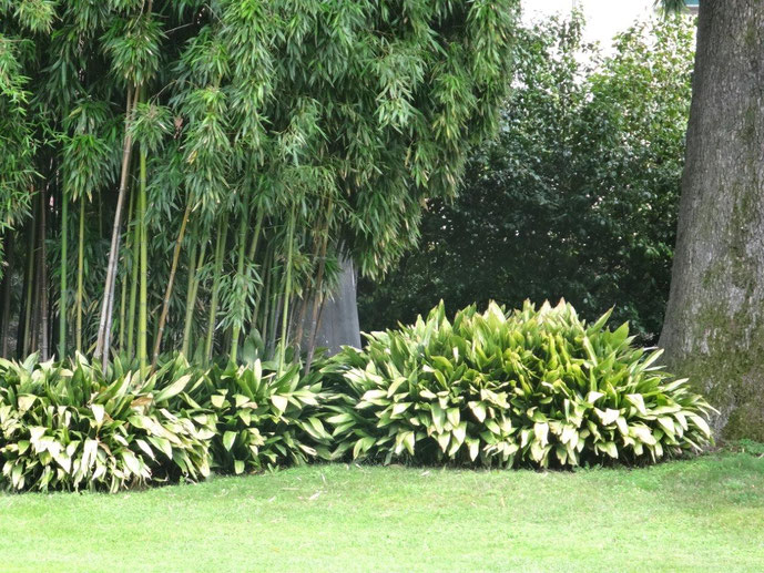 Bambus Bodendecker Bepflnzung Villa Melzi Comer See