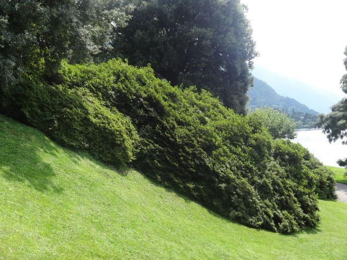 Rhododendron Büsche Villa Melzi Italien