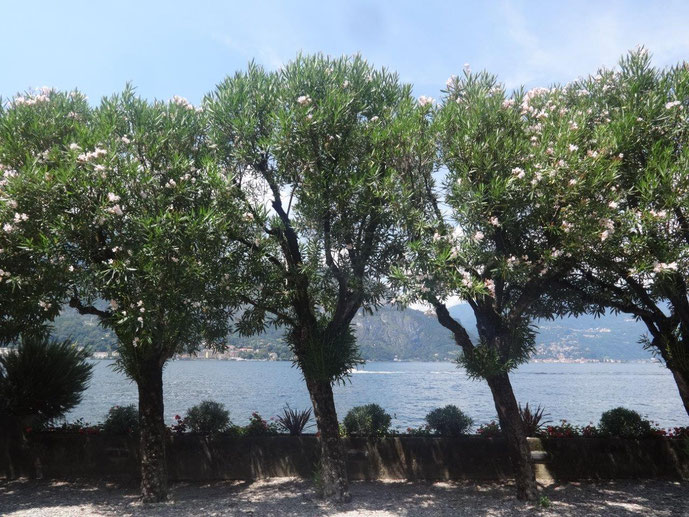 Oleander Hochstamm Comer See Italien
