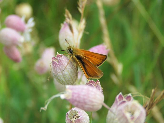 Ochlodes sylvanus, Silene vulgaris