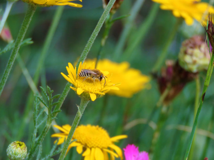 Anthemis tinctoria, Colletes ?