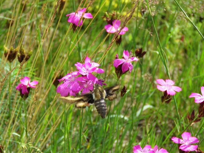 Blumenwiese, Hyles gallii