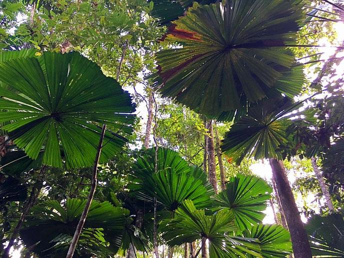 Australischer Palmfarn