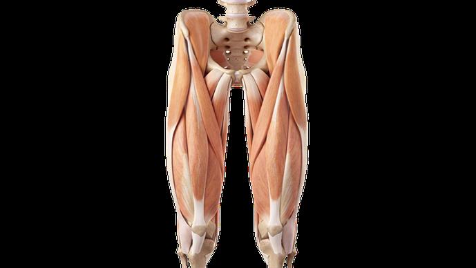 Vista anteriore della coscia con quadricipite e sartorio