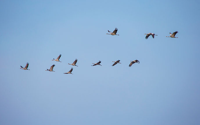 Group of cranes flying, island of Ruegen, Baltic Sea, North East Germany, Europe