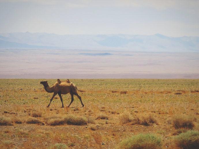 bigousteppes mongolie chameaux gobi