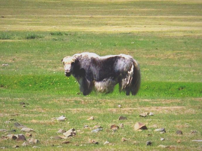 bigousteppes mongolie steppes yak