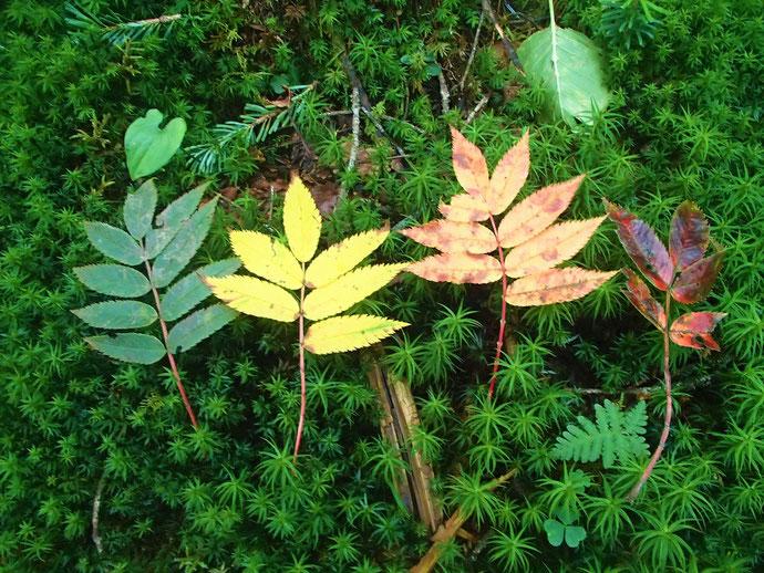 色とりどりのウラジロナナカマドの葉