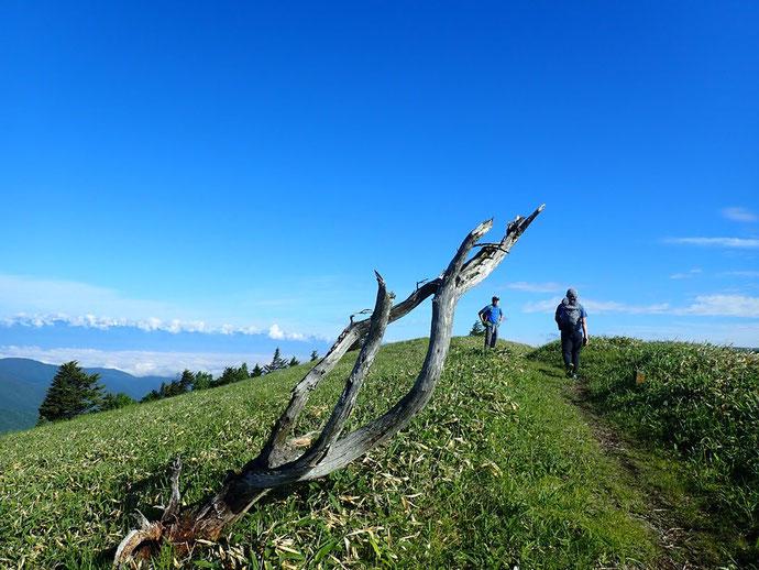 笹っ原と扁形樹の枯れ木