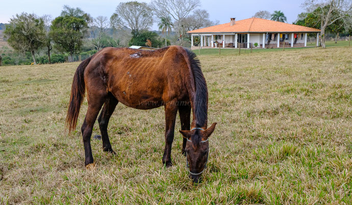 Leptospirose bei Pferden