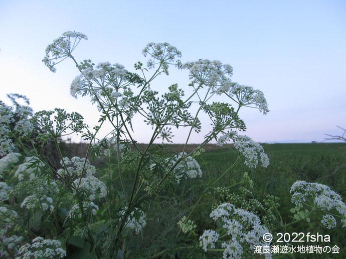 画像:2020/01/11 ハコベ・タネツケバナ