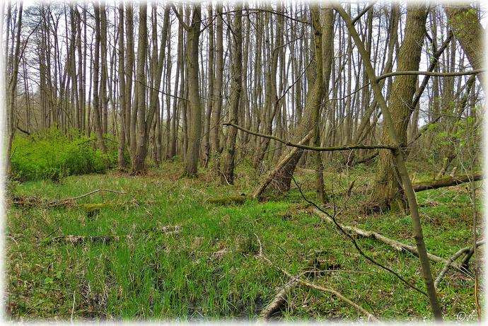 Das typische Bild eines Erlenbruchwaldes
