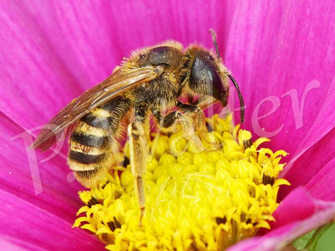 Bild: eine Gelbbindige Furchenbiene, Halictus scabiosae, Weibchen an einer Cosmee