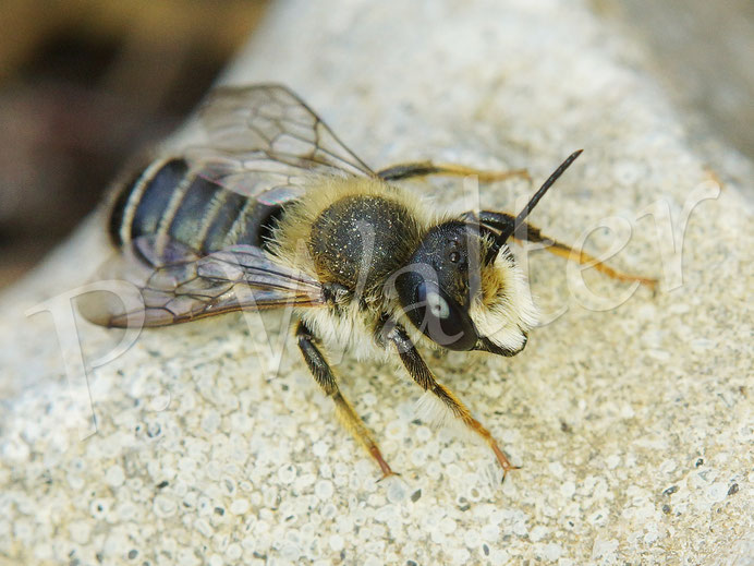 Bild: ein scheinbar frisch geschlüpftes Sandbienenmännchen, Andrena spec.