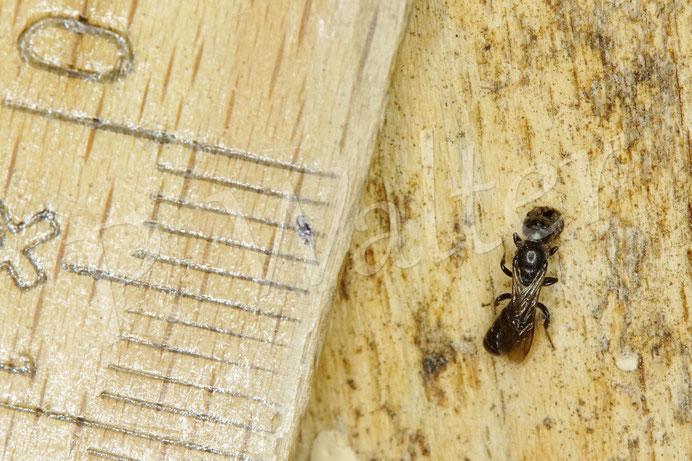 09.08.2020 : ein Minibewohner der Hölzer, der Lochdurchmesser ist gerade mal ca. 1,1 mm ! Übrigens ein unbearbeitetes Holz, wo etliche kleine Käferfraßgänge entstanden, die auch viel genutzt werden ...