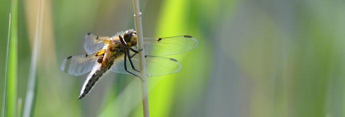 Vierfleck (Libelula quadrimaculata)