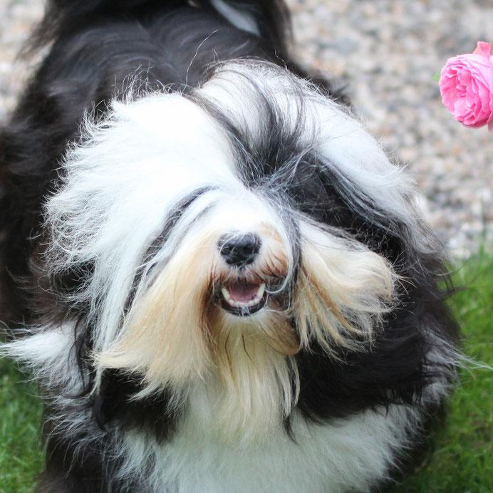 Tibet Terrier Zuchthündin, schwarz-weiß