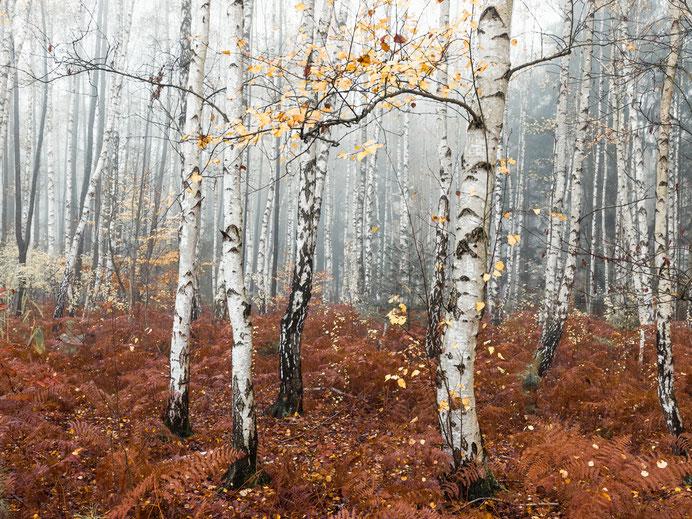 Uckermark, Birken, Birkenwald, Waldbaden, Holger Nimtz, Fotokunst, birches, forest, fine art, Fotografie, photography, Nebel, Nebelwald, foggy,