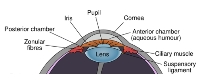 Crossection diagram of the eyeball