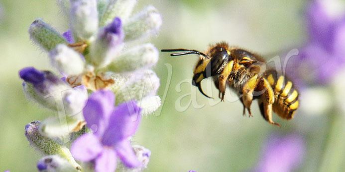 04.06.2016 : Garten-Wollbiene im Anflug zum Lavendel