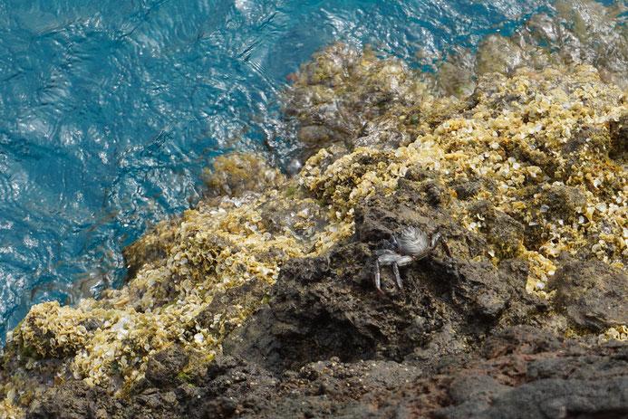Die Punta de Teno machen viele kleine Krebse unsicher, Teneriffa