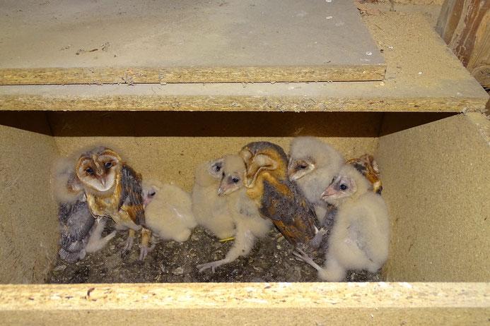Blick in einen Schleiereulenkasten mit neun jungen Eulen. Foto: A. Krueger