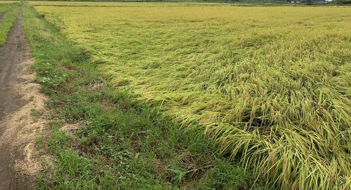 荒れた天気の影響で倒れた稲