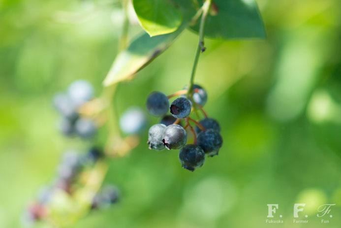 野中さんが栽培するブルーベリー