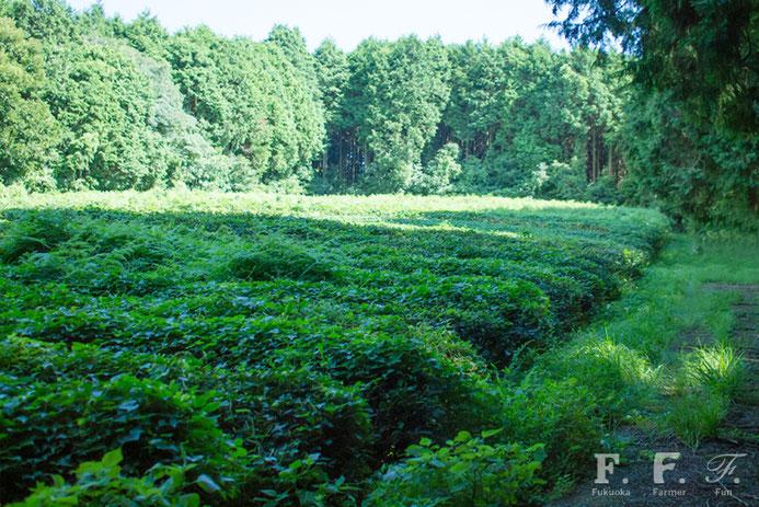 脇山のお茶畑