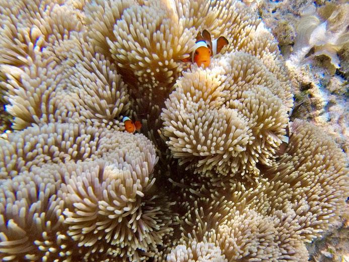 Clownfisch, Korallen