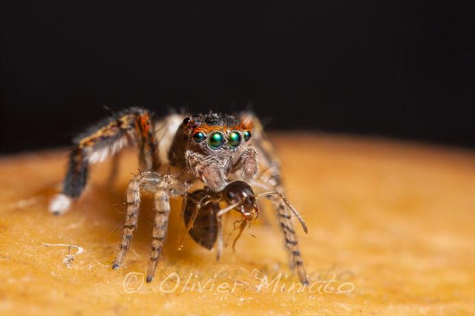Saitis barbipes. Salticidae ©Olivier Miniato