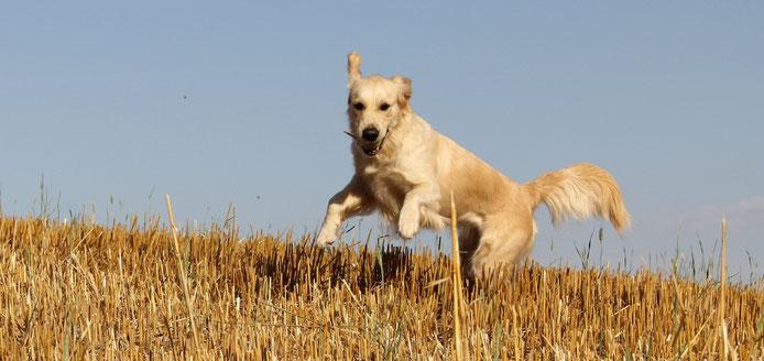 Golden Retriever Hund springt auf Stoppelfeld