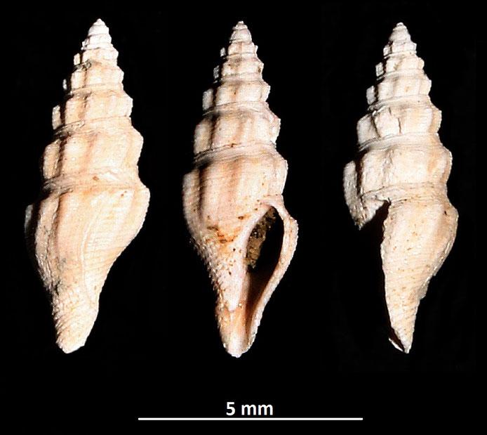 Benthomangelia obtusangulus, Vignola (MO)