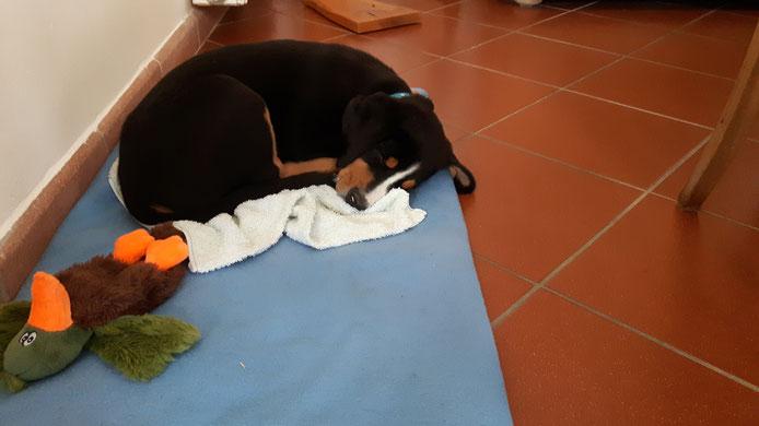 Heute war er sprichwörtlich hundemüde nach dem Besuch der Welpengruppe