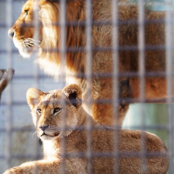 桐生が岡動物園の人気者!ライオン親子のツーショット  クリックで拡大
