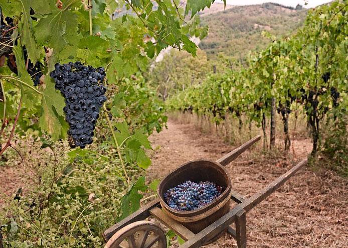 Traditionele ambachtelijke wijngaard.
