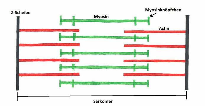 Abb. 2: Schematische Darstellung der Muskelkontraktion