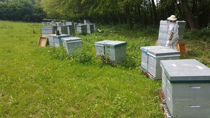 Récolte chasse abeille