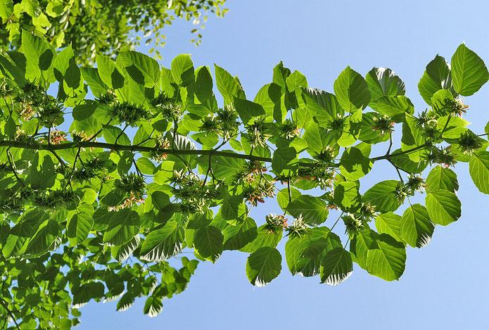 Zweigstück mit Büscheln von Fruchtständen, von unten fotografiert, Foto HK.; Aufnahme-Datum: 30.04.2018