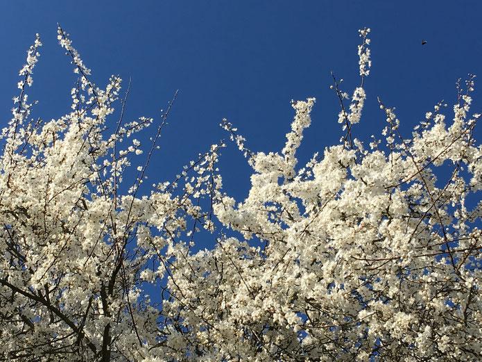 Weiss blühender Weissdorn vor blauem Himmel