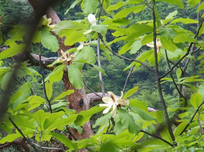 ホウノキ・・・これも遠くの高木に咲いていたのでうまく撮れていません。                                   仲間のタイサンボクと共に大好きな花のひとつです。