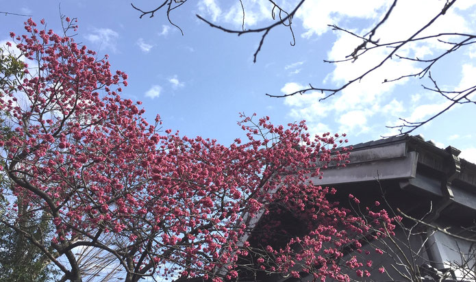 中村酒造の寒緋桜