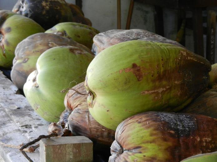 frisch gepflückte Kokosnuss