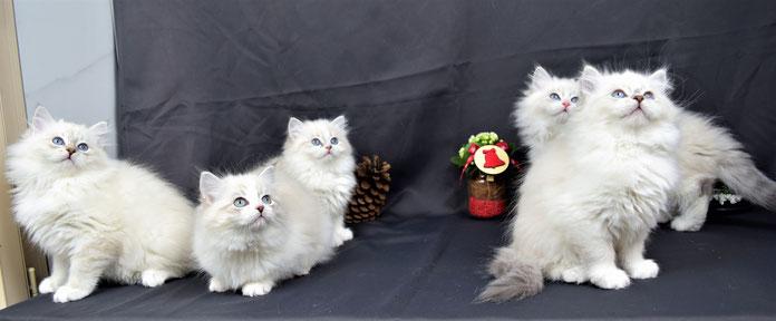 chaton sibérien néva masquerade