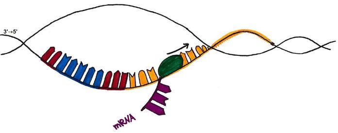 Abb. 2: Elongation bei der Transkription (Proteinbiosynthese)