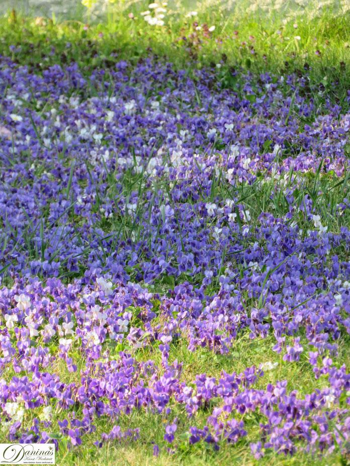 Eine Veilchen Wiese im Frühling versprüht unvergleichlichen Duft im Garten.