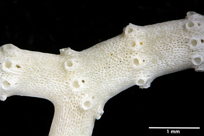Bild 1 Bryozoa, Art:  Porina australiensis (Haswell 1881) aus Bryozoen Sammlung Senckenberg Frankfurt