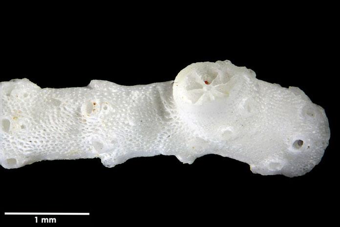 Bild 2 Bryozoa, Art:  Porina australiensis (Haswell 1881) aus Bryozoen Sammlung Senckenberg Frankfurt